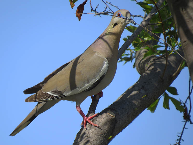 A White-winged Dove with nesting material.