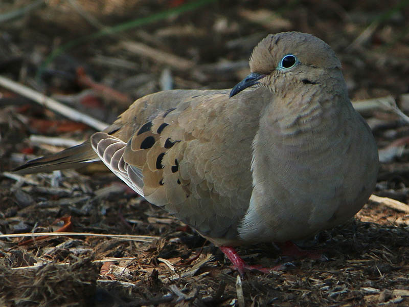 A Mourning Dove dozing on the ground.