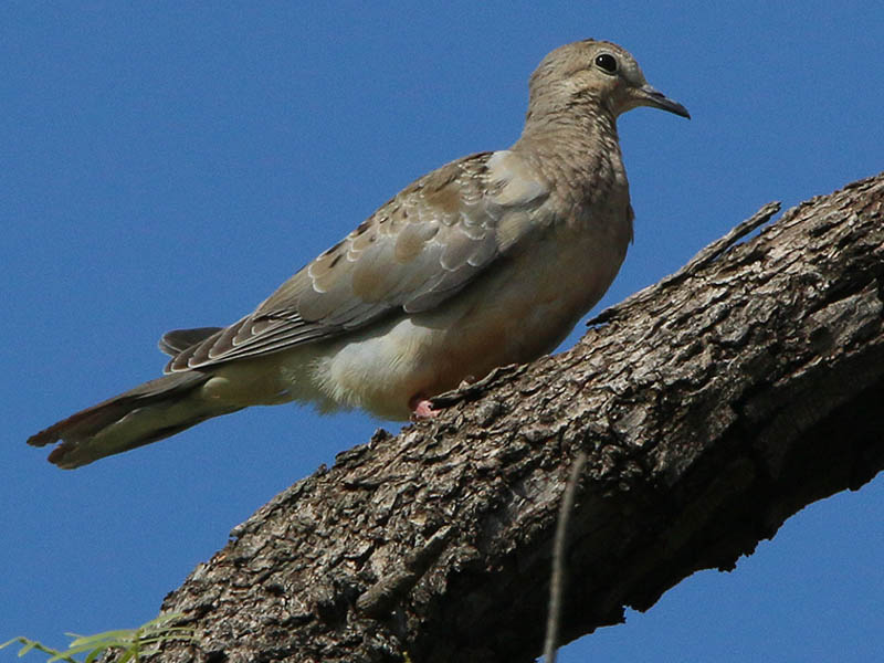 A juvenile Mourning Dove.
