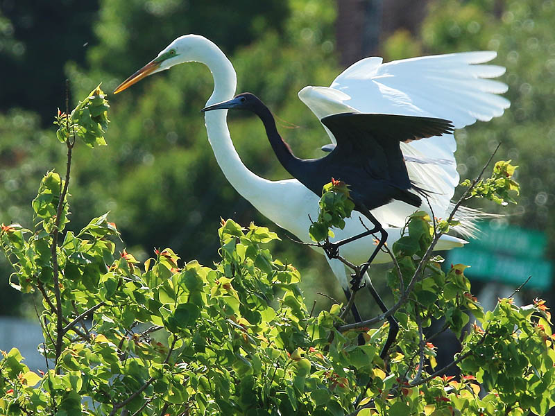 A Great Egret with a Little Blue Heron.