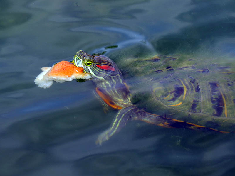 A red-eared Slider eating bread.