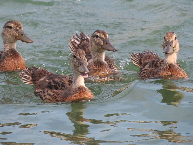 Young, semi-independent Mallards.