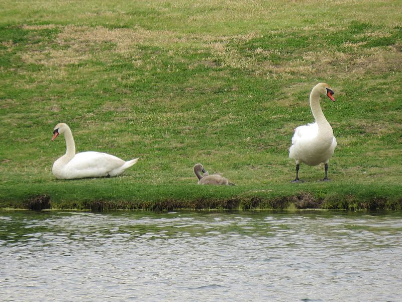 The Mute Swan family on the far side of the lake.