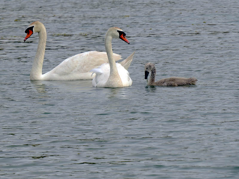 The real trick these days is photographing the swans when all three have their heads out of the water.
