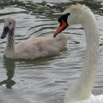 Mute Swan – Nest 2014 Update 9