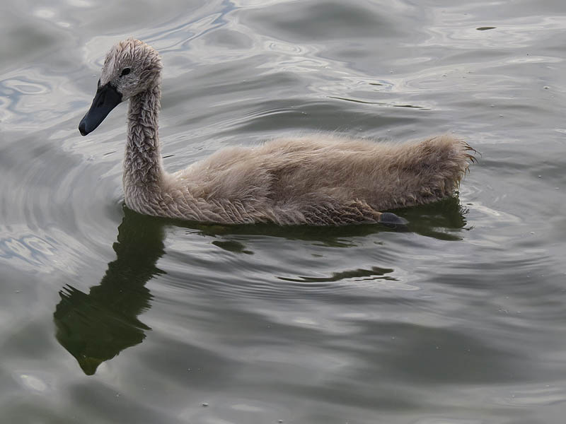 A five week old Mute Swan.