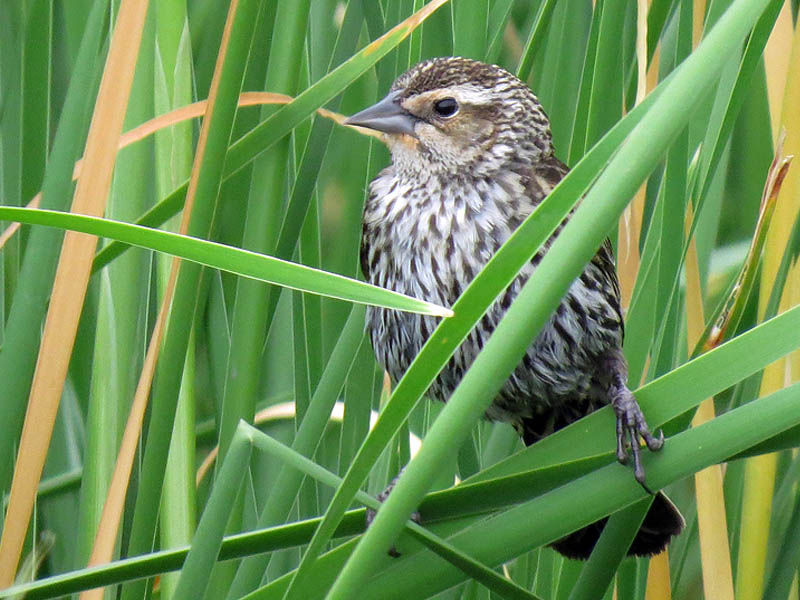 The  female Red-winged Blackbird looks very different from the male.