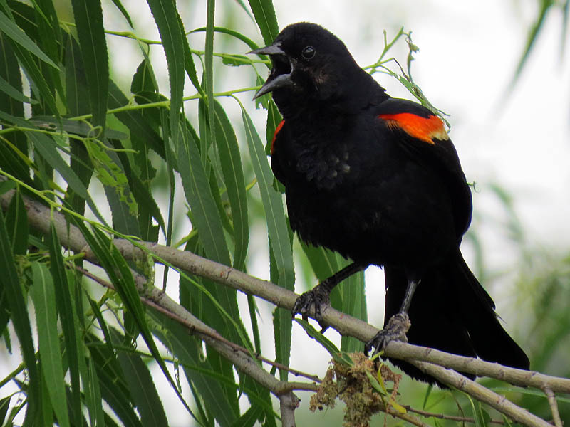 A male Red-winged Blackbird vocalizing.
