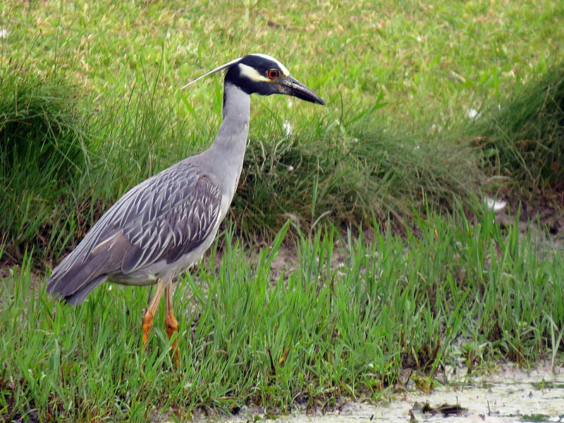 A Yellow-crowned Night Heron hunting in the shallow water.