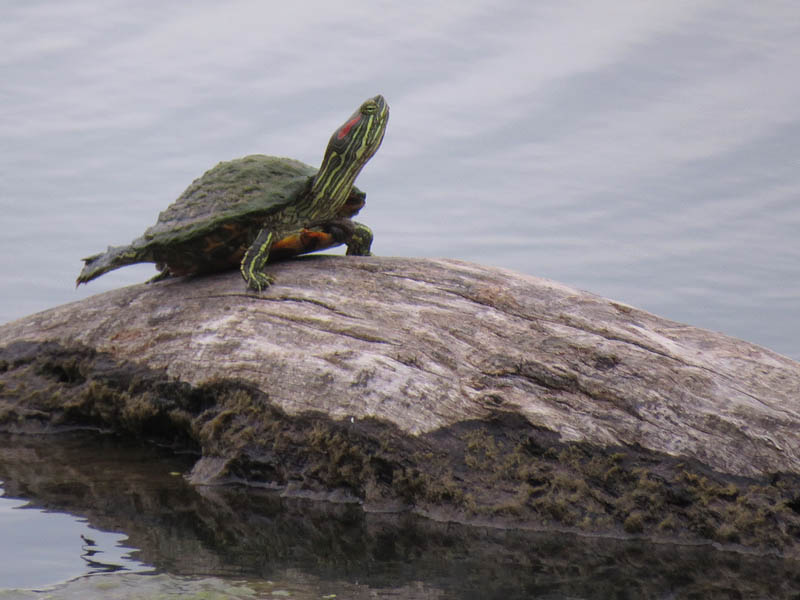 This Red-eared Slider should have been a model.