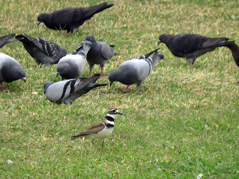 A lone Killdeer makes its way pass a larger group of Rock Doves.