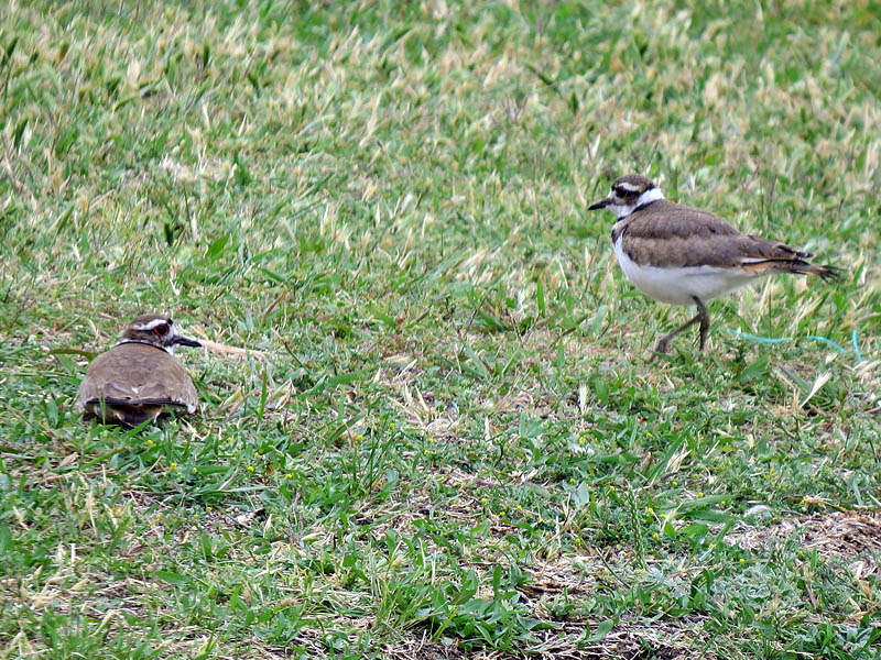 A few minutes later the pair had returned to the grassy bank where on of the birds decided it was nap time.