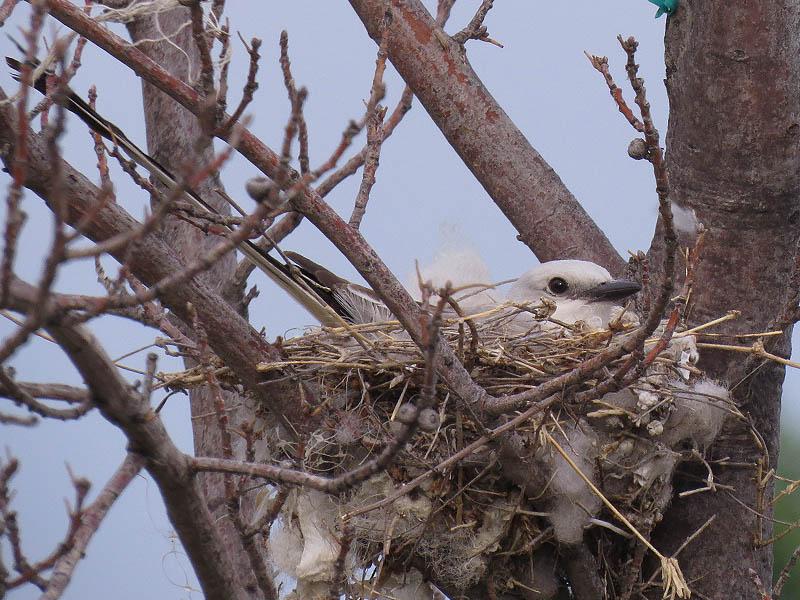 A nesting Scissor-tailed Flycatcher.