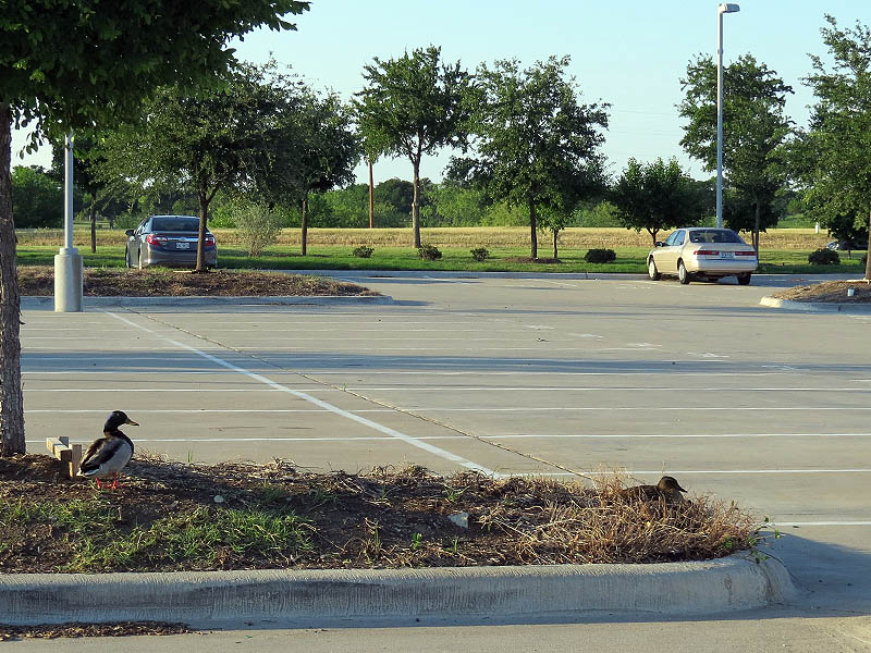 Mallards nesting in a busy parking lot.