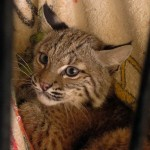 Josey the Orphaned Bobcat Kitten - Month Two