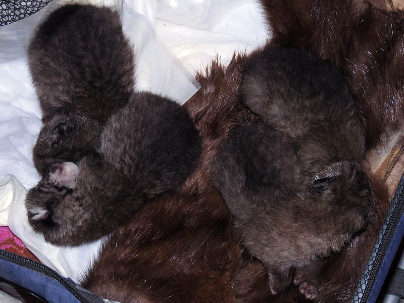 These four Bobcat kittens are approximately one week old.