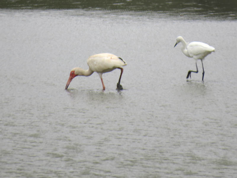 The ibis is momentarily joined by a Snowy Egret.  The egrets yellow feet have been effectively disguised by the sticky black mud.