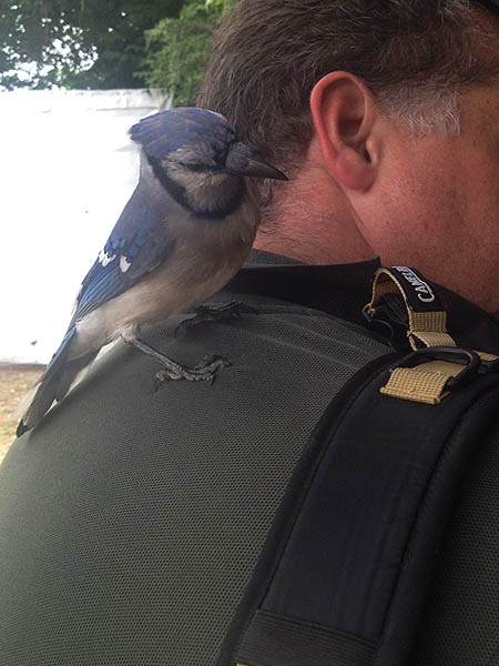 This bold Blue Jay was curious enough about the tab on my backpack to come down out of the trees to investigate.