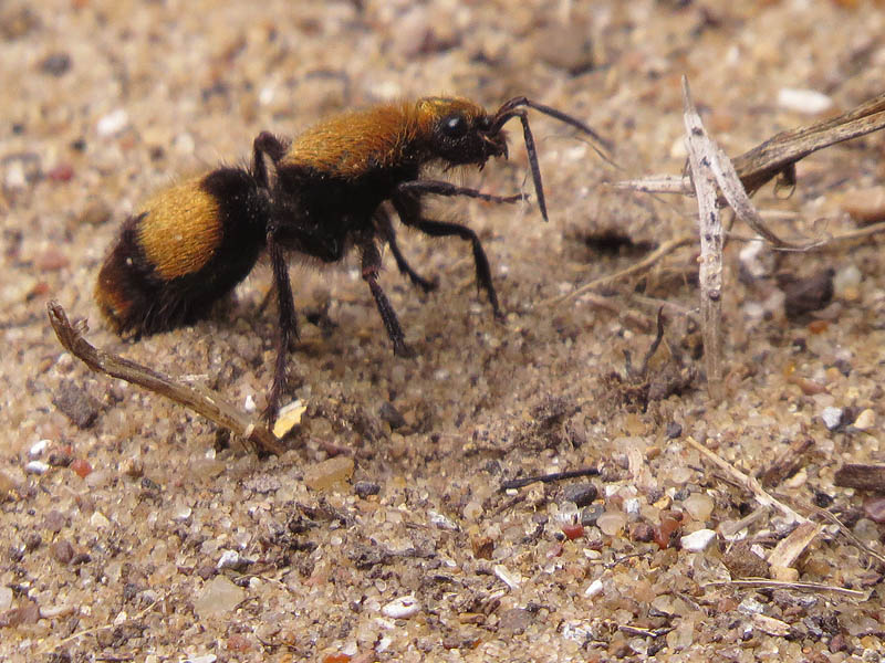 "The Velvet Ant, also known as the ""Cow Killer"" because of its powerful sting."