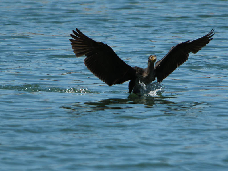 A Double-crested Cormorant comes in for a landing.