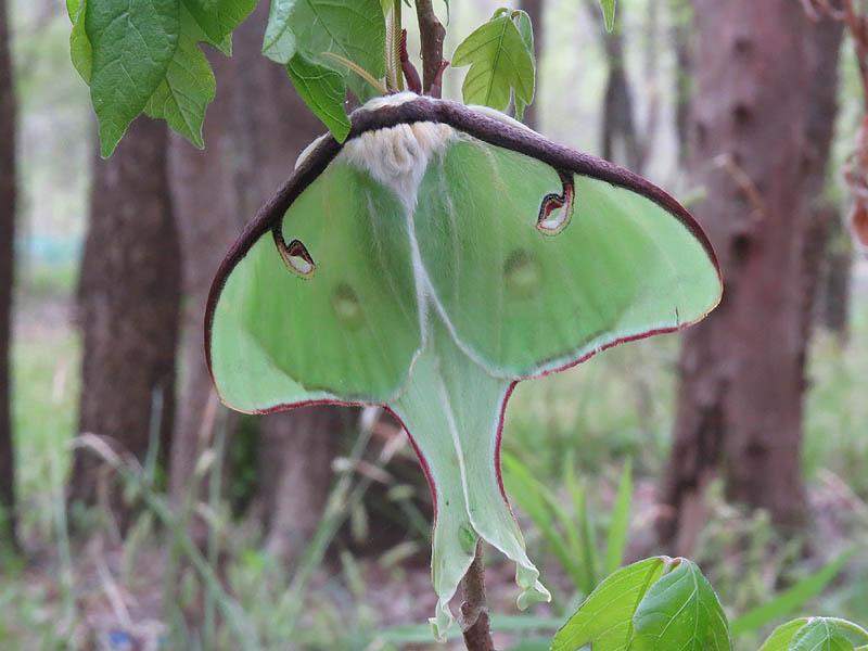 A Luna Moth.