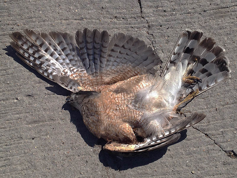 Roadkill Cooper's Hawk