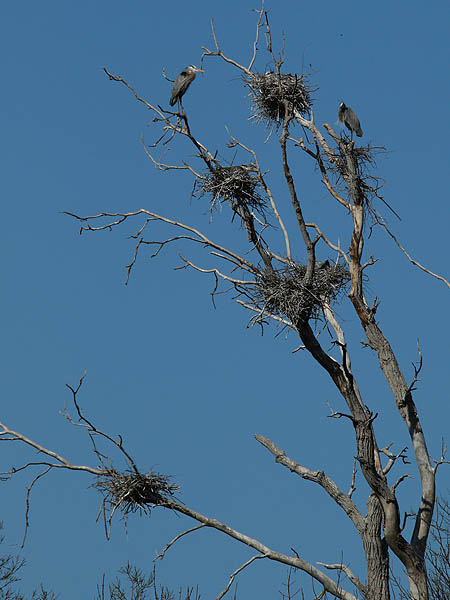 The heron in the nest at the top of this photograph appears to be incubating eggs.