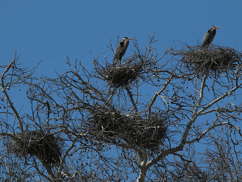 These two herons have claimed the nests at the top of the tree.