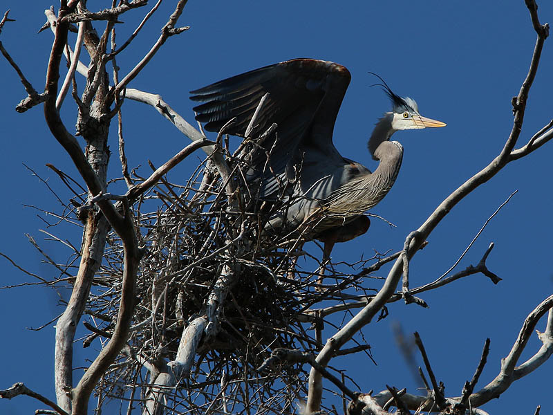 This heron is on guard and prepared to defend his chosen nest site.