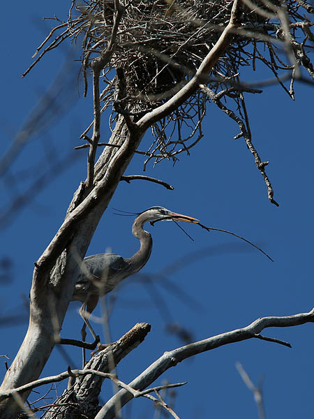 This heron is carrying new nesting material.