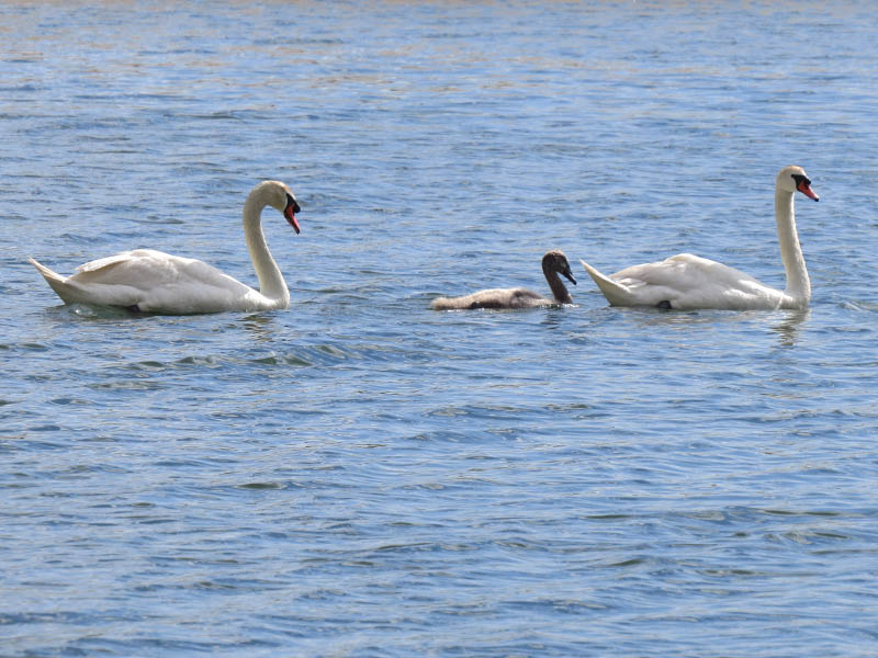 The swan family is doing just great this week.