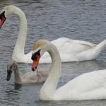 Mute Swan – Nest 2014 Update 10