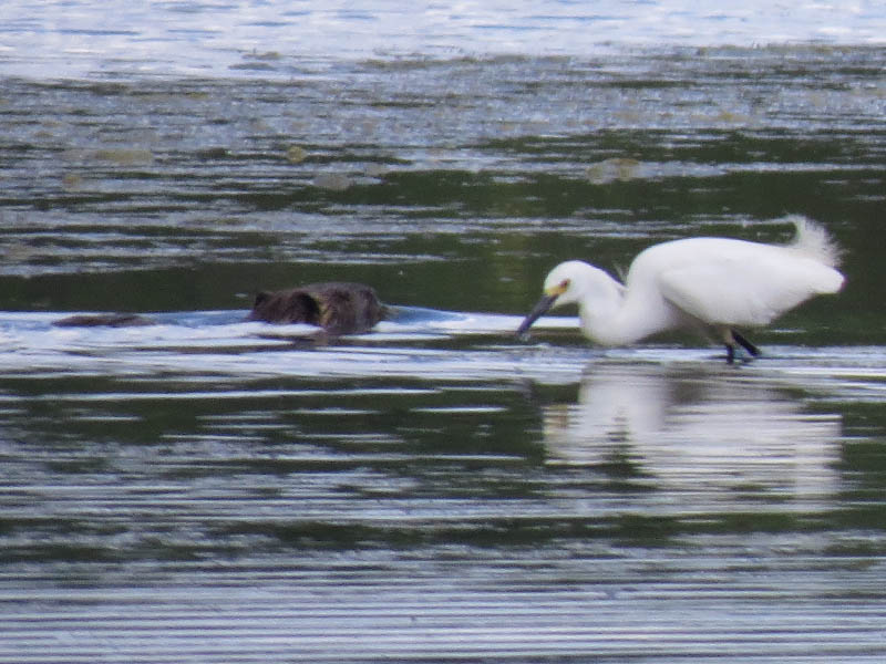 A Snowy Egret and a Nutria.