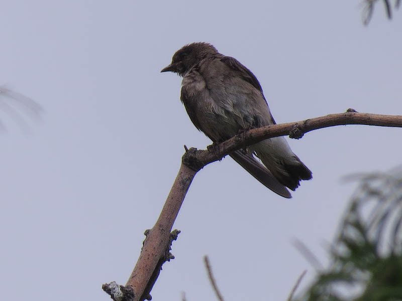 A Northern Rough-winged Swallow.