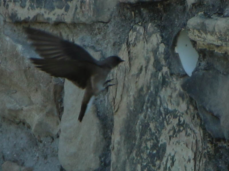 A Northern Rough-winged Swallow approaching her nest.