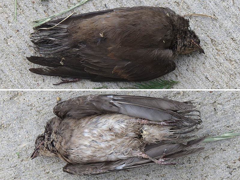 A deceased baby Northern Rough-winged Swallow.