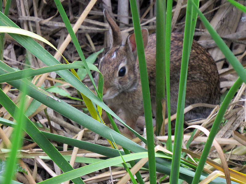 A juvenile Eastern Cottontail.