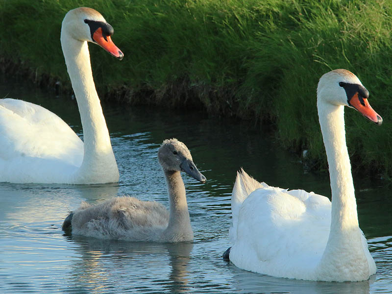 The handsome swan family.