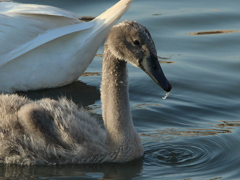 The cygnet seems to be growing at an accelerated rate.