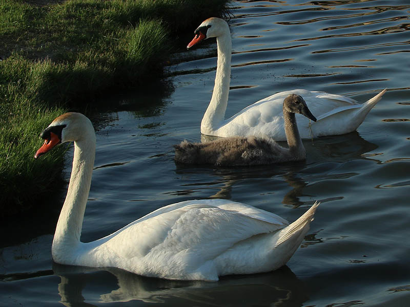 The young swan needs to work on his synchronized swimming skills a bit.