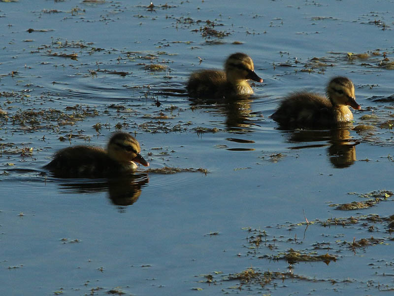 Mallard ducklings swimming through shallow water.