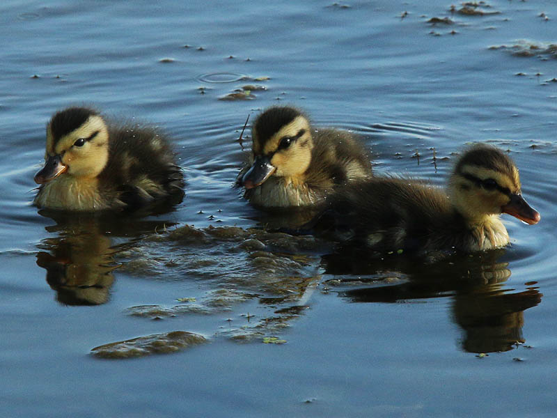 These three ducklings are all that remain of a brood that originally numbered near a dozen.