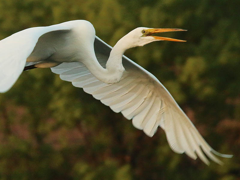 A Great Egret flyby.
