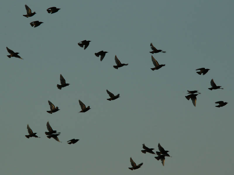 The starlings circled several times before landing and disappearing into the reeds.