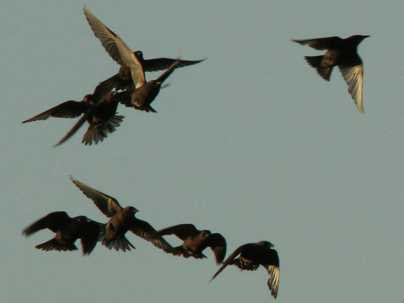 European Starlings