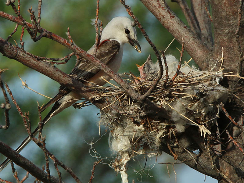 A Scissor-tailed Flycatcher feeding her young.