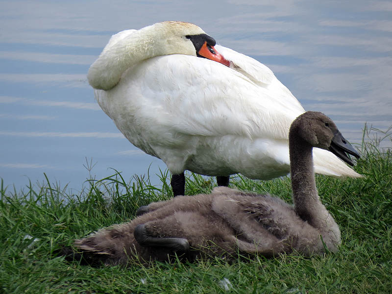 The cygnet is nearly as large as his mother now.