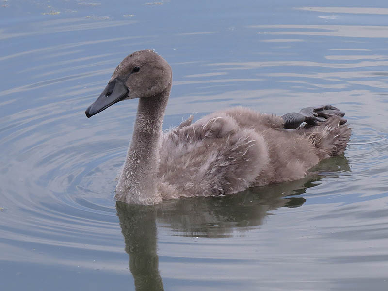 The cygnet was able to swim around quite well using only one foot.