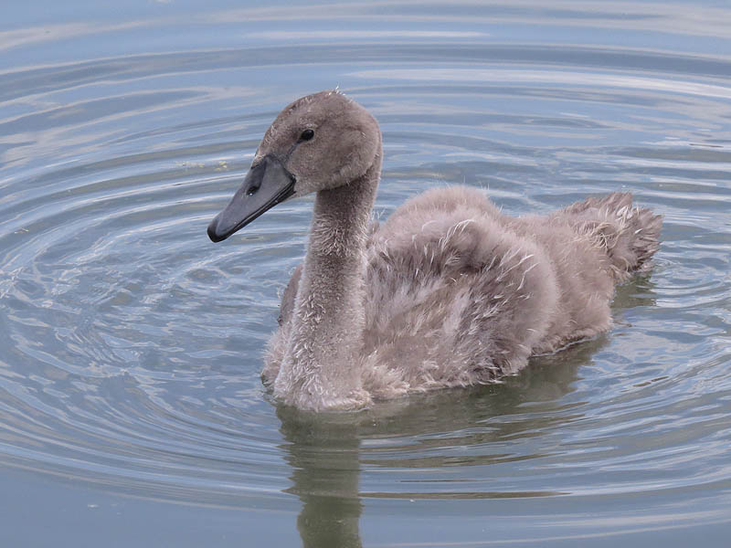 The Mute Swan cygnet at eight weeks of age.