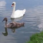 Mute Swan – Nest 2014 Update 12